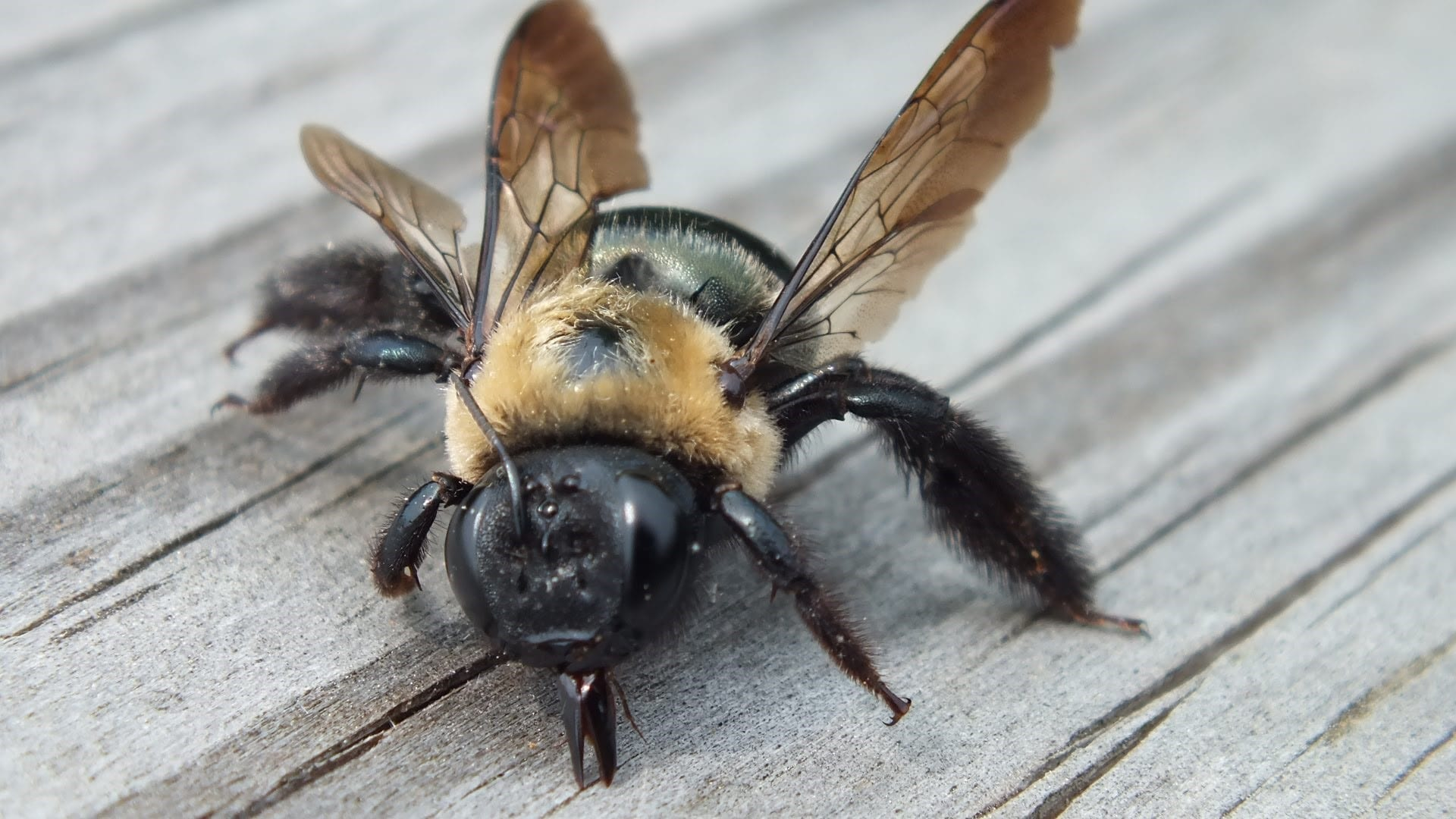Do Wood Bees Sting
