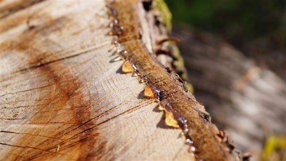 Removing Sap That Has Already Hardened Step 1