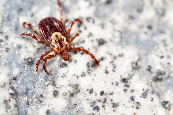 What Does A Wood Tick Look Like