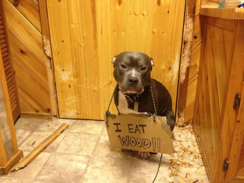 Why Does My Dog Eat Wood