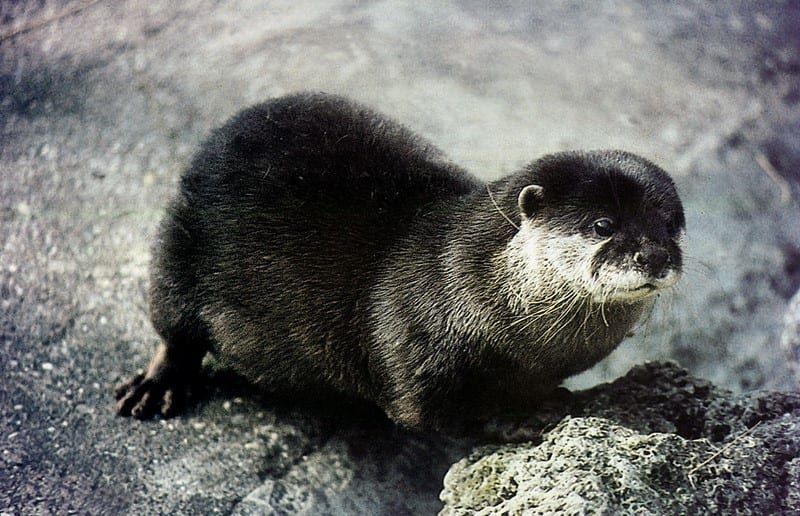 The Otter Lutra Lutra One Of The Protected Animal Species In Croatia